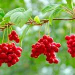 Schisandra berries hanging in a tree.